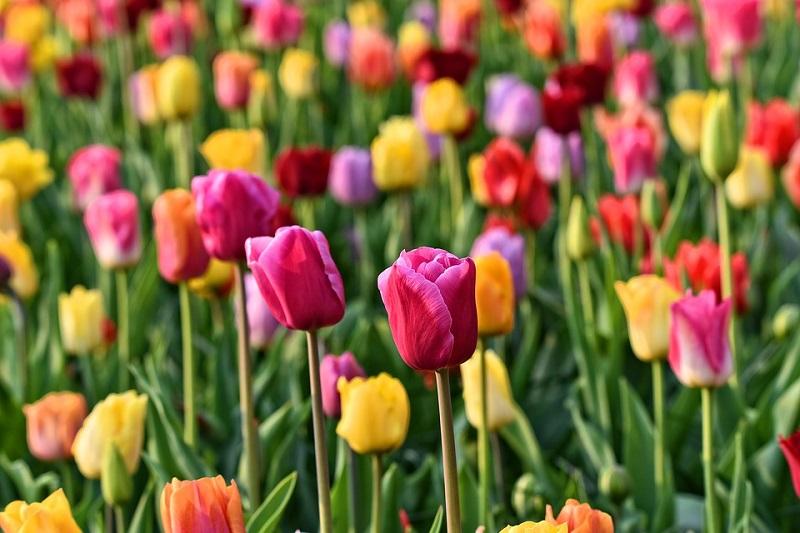 As famosas tulipas Holandesas e a comparação com bitcoin!